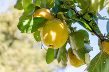 Quinces Fruit Grow On Tree In ...