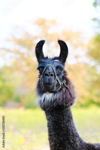Naklejka premium llama portrait close up looking at camera with fall season color blurred background on farm.