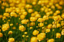 Yellow Globeflowers Blooming In Spring