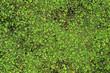 Grüne Wasserlinsen, genannt Entengrütze, auf der Wasseroberfläche eines Sees - Stockfoto