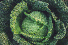 Green Growing Cabbage (Brassica Oleracea)
