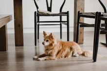 Dog Relaxing On Floor By Chair At Home