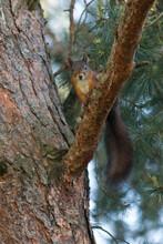 Eurasian Squirrel On Tree Bran...