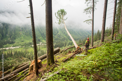 Rear view of man felling old growth trees in forest - 385813844