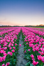 Scenic View Of Tulip Field