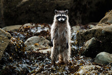 Portrait Of Raccoon Looking For Food On Beach