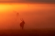 Lechwe Standing In Forest During Sunrise In National Park