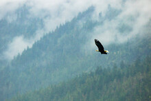 Bald Eagle Flying Over Trees In Great Bear Rainforest