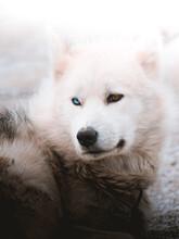 Close Up Of Siberian Husky