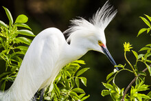 Close Up Of Snowy Egret In Mating Plumage Perching On Tree