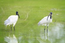 Black Headed Ibis Perching  In Water