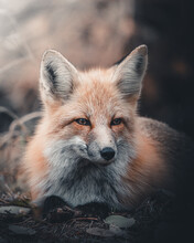 Close Up Of Red Fox Sitting In Forest