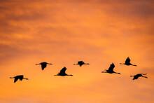 Silhouette Of Common Cranes Fl...