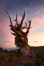 Bristlecone Pine Tree Against ...