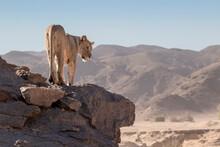 Lion Standing On Rock In Skeleton Coast National Park