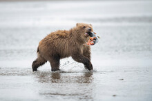 Grizzly Bear Cub With Caught S...
