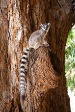 Portrait Of Ring Tailed Lemur ...