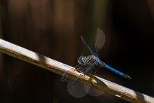 Close Up Of Dragonfly In Conga...