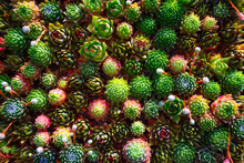 Overhead View Of Succulent Plants