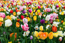 Scenic View Of Tulip Flowers I...
