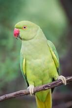 Close Up Of Rose Ringed Parakeet Perching On Branch