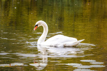 Close Up Of Swan Swimming In P...