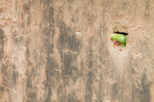 Rose Ringed Parakeet Looking Out Of Nest In Wall