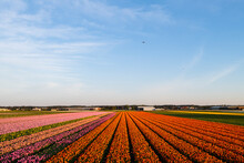 Landscape Of Tulip Field