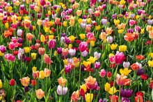 Scenic View Of Tulip Flowers I...