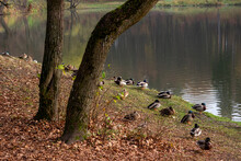 Ducks By The Lake In Autumn