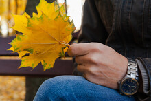 Hands Hold Yellow Maple Leaves...