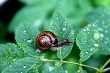 Snail After Rain On A Leaf