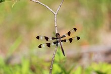 Twelve Spotted Skimmer Dragonfly On Branch.  Macro Photography