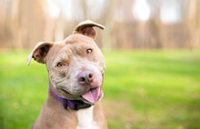 A Happy Pit Bull Terrier Mixed...