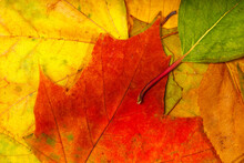 Multicolored Dry Autumn Leaves...