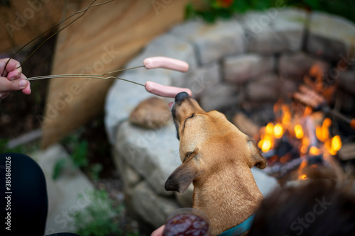 Fotomural Dog licks hot dogs getting ready to be roasted over a campfire