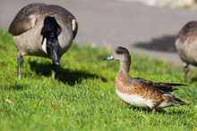 Female Wigeon Duck Walks Waril...