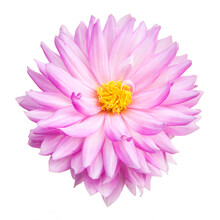 Perfect Pink Dahlia Flower In ...