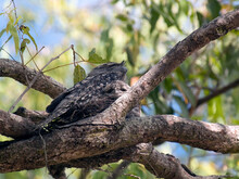 Tawny Frogmouth And Chic