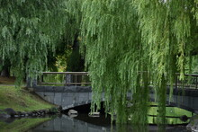 The Green Willow Trees With It...
