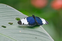 Sapho Longwing (Heliconius Sapho) At Arenal Volcano National Park, Costa Rica