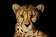canvas print picture Portrait of a cheetah (Acinonyx jubatus) with intense eyes isolated on black.