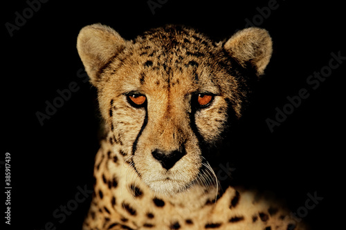 canvas print motiv - EcoView : Portrait of a cheetah (Acinonyx jubatus) with intense eyes isolated on black.