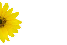 Half Of The Head Of Sunflower Also Known As Helianthus L. Flower Is Isolated Over White Background. Copy Space