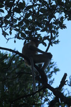 Proboscis Monkeys Are Long-nosed Monkeys With Reddish Brown Hair And Are One Of Two Species In The Genus Nasalis. Proboscis Monkeys Are Endemic To The Island Of Borneo Which Is Famous For Its Mangrov