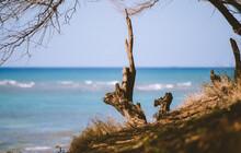 Tree At Diamond Head Beach, Oa...