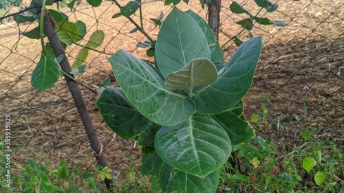 Indian green aak or a madar plant, Beautiful aak tree with green patti Canvas Print