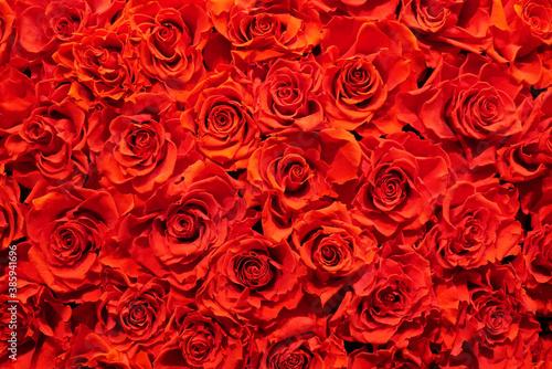 Fototapeta 敷き詰められた赤い薔薇