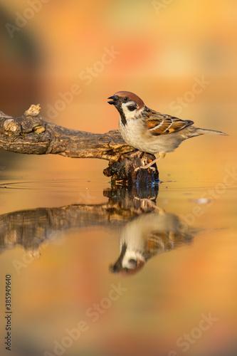 Cuadros en Lienzo Eurasian tree sparrow, passer montanus, sitting on branch in pond in autumn