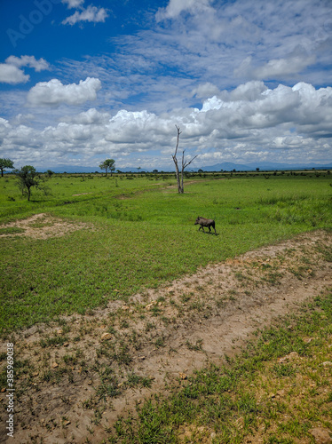 Cuadros en Lienzo Mikumi, Tanzania - December 6, 2019:  pumbaa known as a phacochoerus  walks through the green savanna